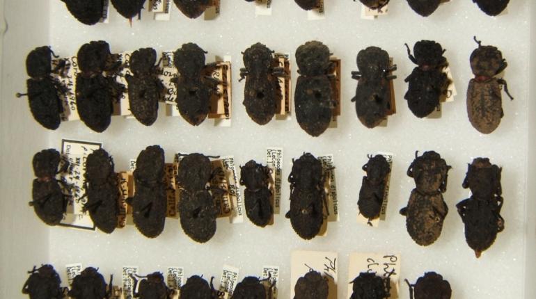 Биологи раскрыли секрет сверхпрочного панциря жука-броненосца