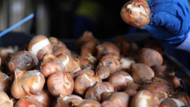 30 тысяч заграничных луковиц тюльпанов проверили на Елагином острове