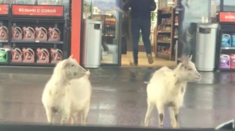 На севере Петербурга две козы тусуются на АЗС