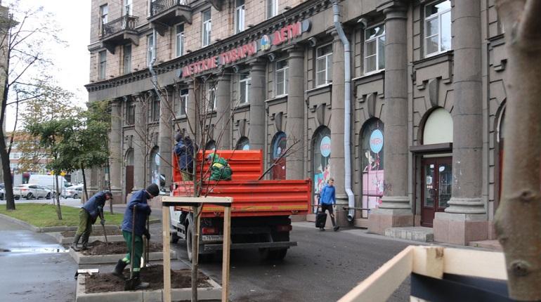 На Комсомольской площади высадили устойчивые к климату Петербурга липы