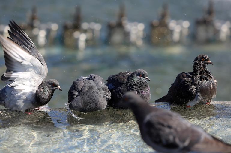 Уничтожение голубей у Гостиного двора могло быть спланированной «акцией» коммунальщиков