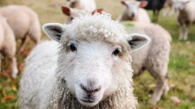 Ученые нашли на Алтае самых древних домашних овец