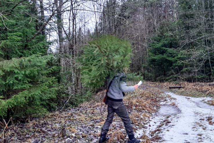 Во Всеволожском лесничестве приостановили продажу елок для петербуржцев