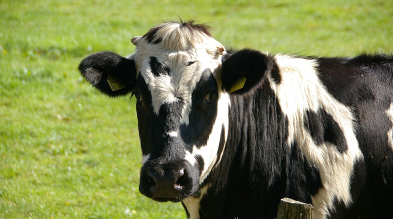 За обугленный труп коровы Зины с энергетиков хотят взыскать 130 тысяч