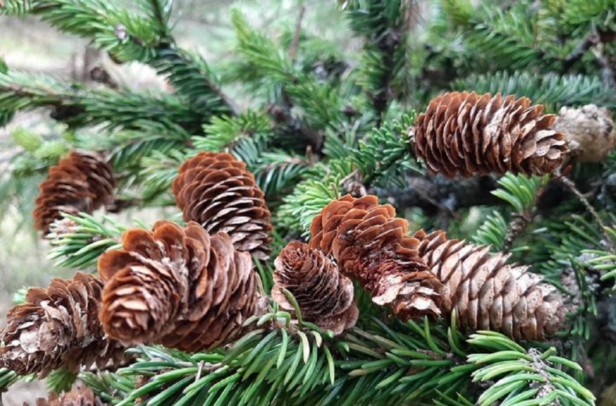 В Ленинградской области новогодние елки раздают бесплатно