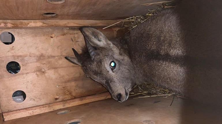 Двух сибирских козлов пропустили в Пулково