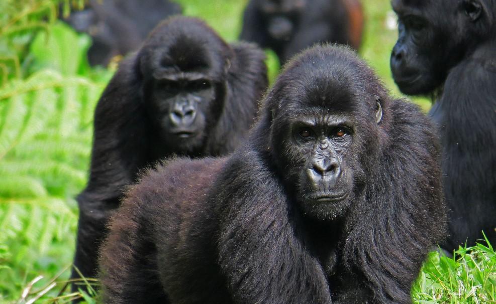 В США зафиксировали первый в мире случай заражения горилл коронавирусом
