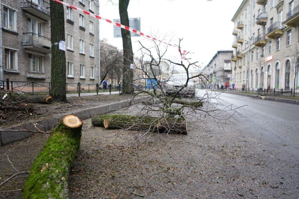 У «Черной речки» вырубили пять здоровых на вид деревьев