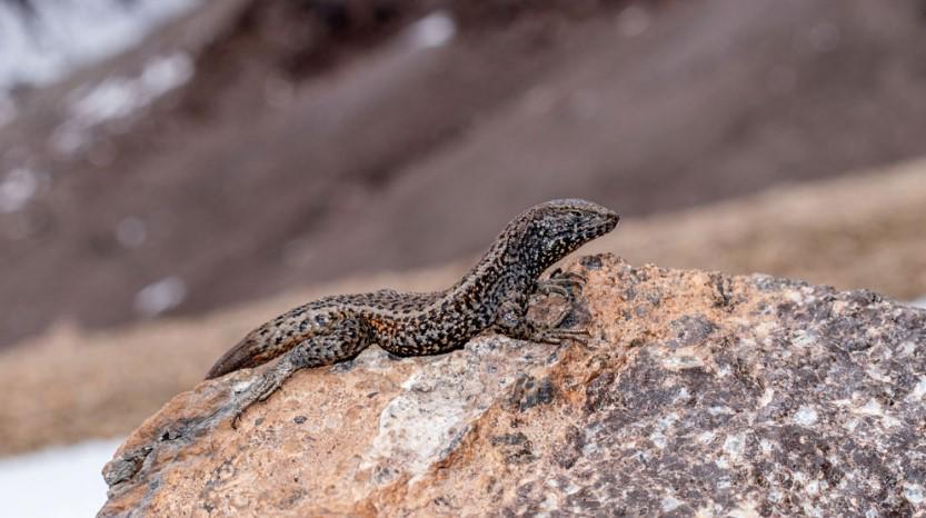 Ученые нашли в Перу ящерицу на рекордной для неё высоте 5400 метров