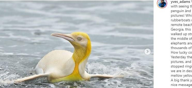 Фотографу из Бельгии удалось запечатлеть редкого бело-золотого королевского пингвина