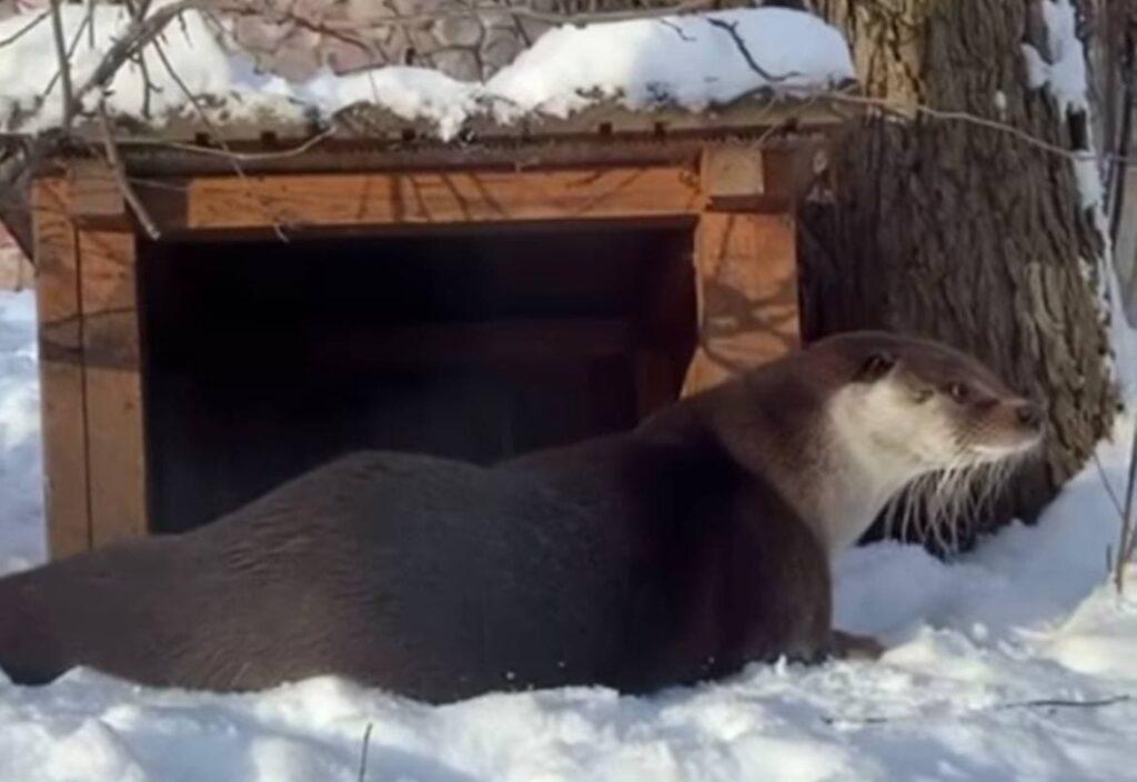 Выдра Финик из Ленинградского зоопарка радуется морозам