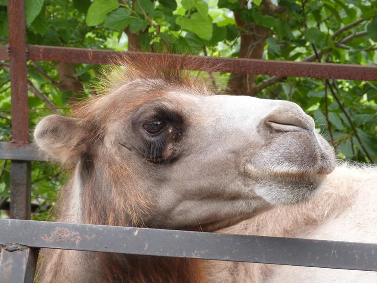 В Сосновом Бору на Масленицу ребенок на карте протаранил верблюда