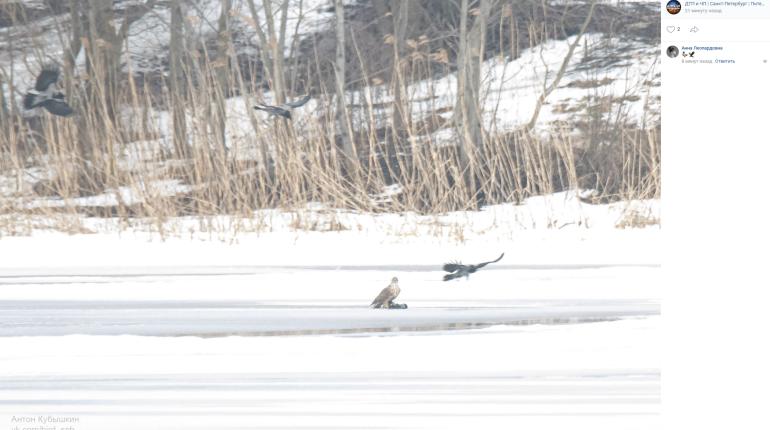 Сражение ястреба со стаей ворон засняли в Приморском районе
