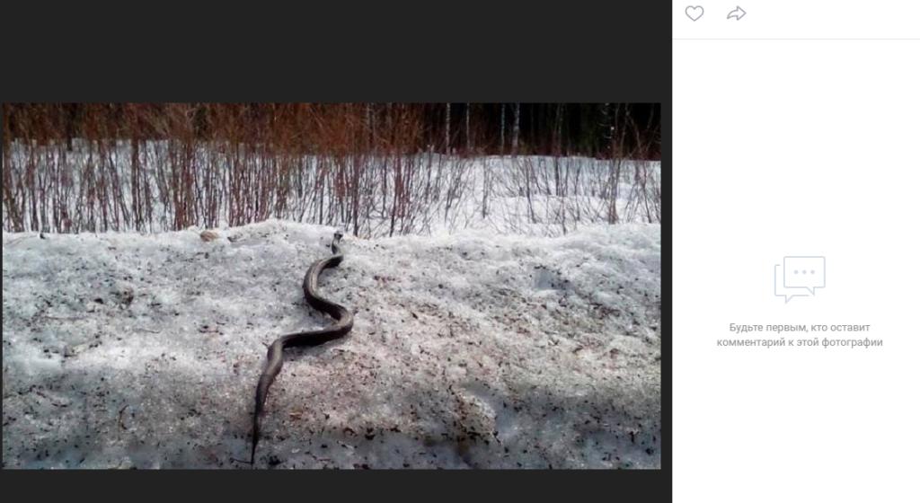 Областные змеи поползли кусать петербуржцев