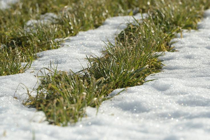 Весна пришла! Озимые культуры Ленобласти хорошо перенесли зиму