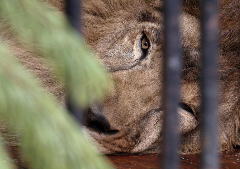 Африканские львы помогли ученым раскрыть причину «заразности» зевоты