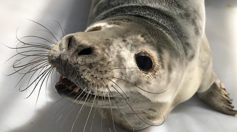 Неравнодушные жители Соснового Бора спасли тюлененка