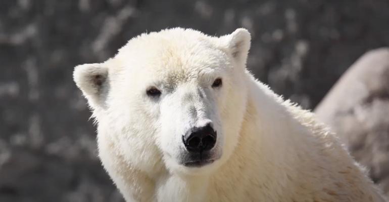 Белая медведица Услада умерла в Ленинградском зоопарке