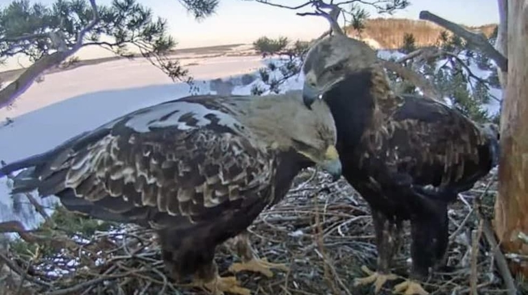 Орнитолог запустил круглосуточную трансляцию из гнезда солнечных орлов