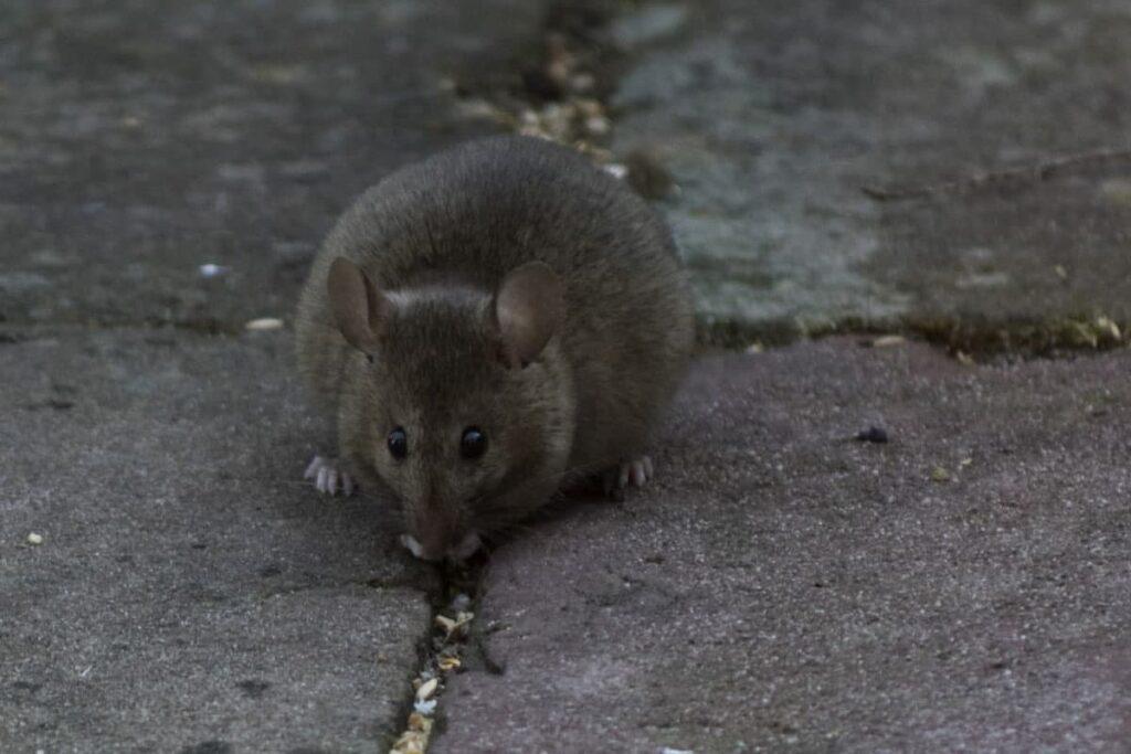 Собакоподобные крысы пугают жителей Центрального района Петербурга