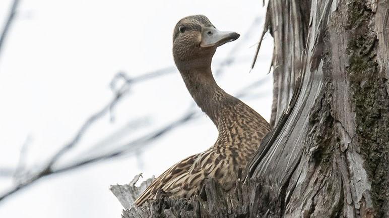 На Елагином острове утка выгнала из гнезда сову