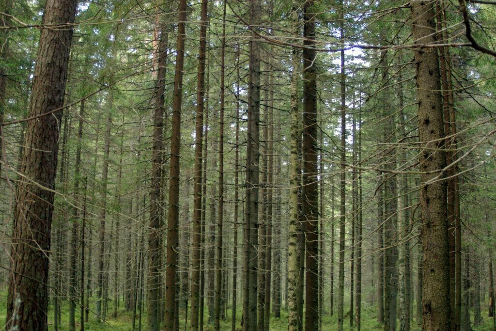 Кудровские «активисты» распространяют слухи о вырубке деревьев для строительства поликлиники