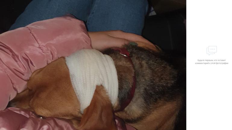 В Кудрово бигль лишился половины уха после встречи с собаками без намордников