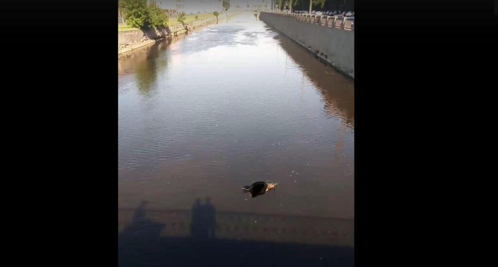 В Обводном канале плавает тушка кабана
