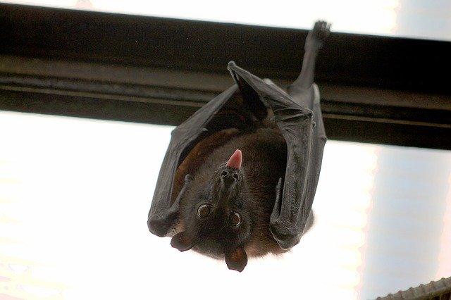В Лаосе нашли летучих мышей с коронавирусом, похожим на COVID-19
