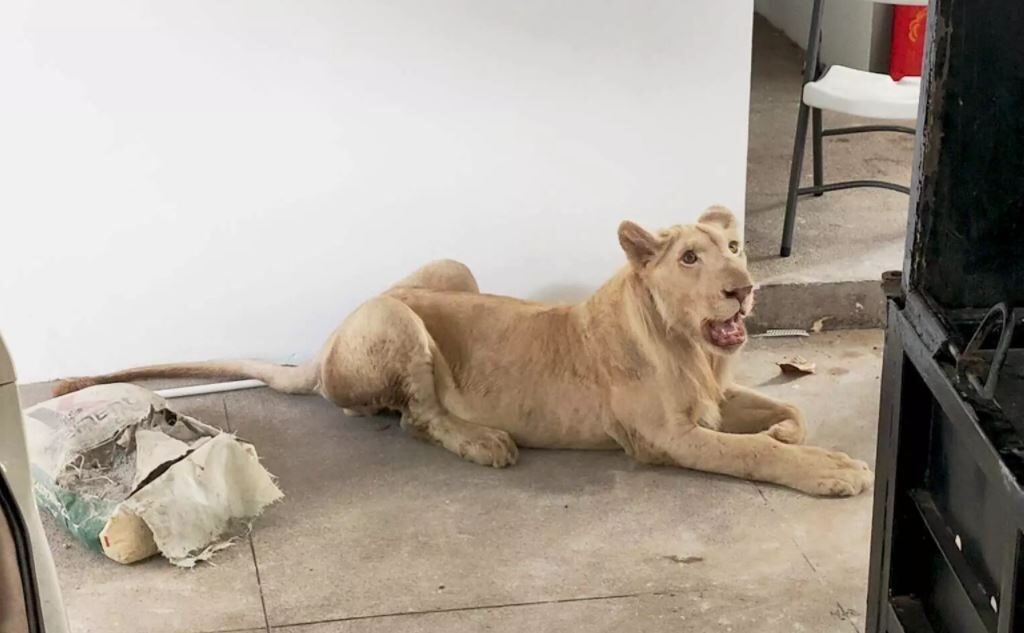 В Камбодже у владельца изъяли льва: у животного обрезали когти и удалили клыки