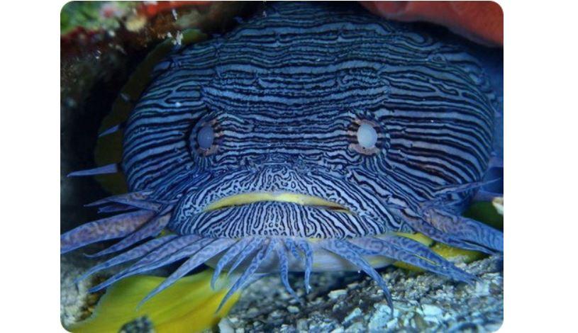 Жабовидные рыбы стали меньше размножаться из-за шума лодок, ведь особи не слышат друг друга