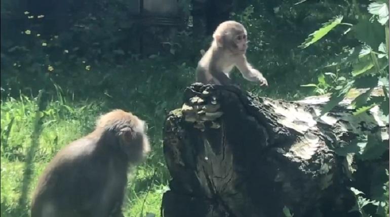 В Ленинградском зоопарке родился детеныш японских макак