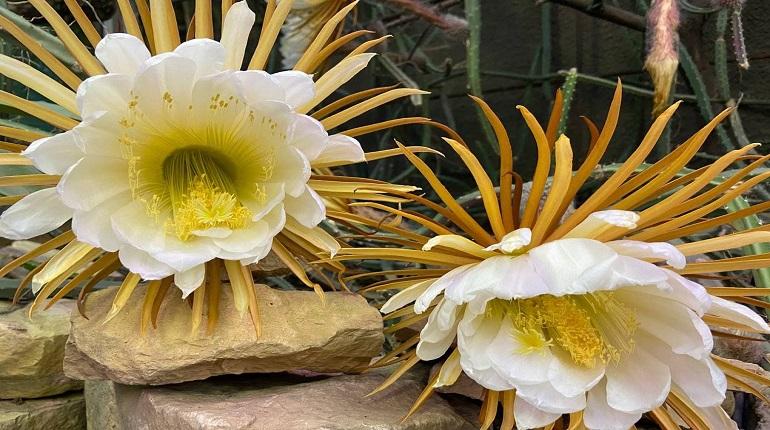 В Ботаническом саду распустилась Царица ночи