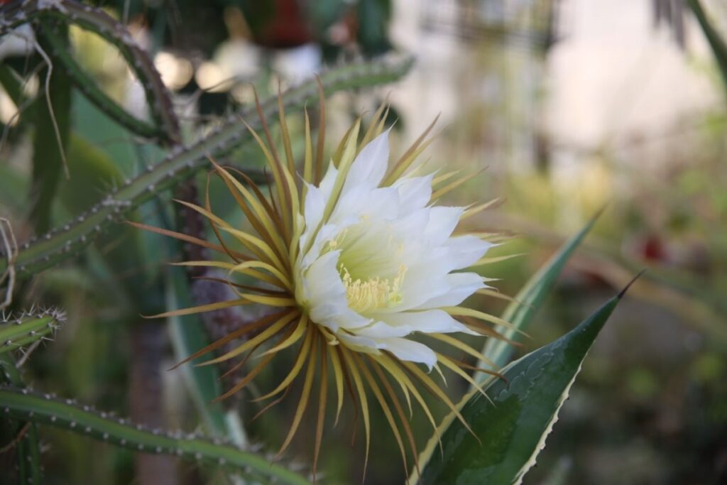 В Ботаническом саду СПбГУ впервые за 110 лет застали цветение Царицы ночи