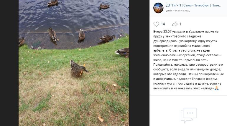 Петербуржцы снова увидели плавающую утку со стрелой в теле