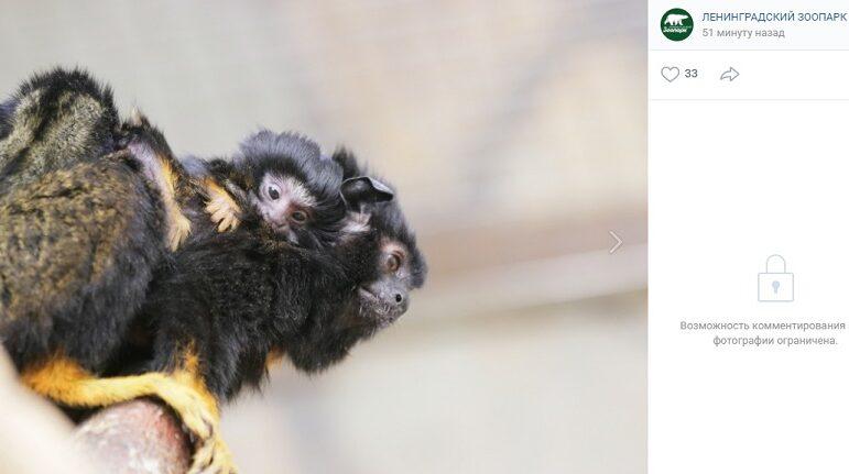Краснорукие тамарины Марик и Игритт в Ленинградском зоопарке стали родителями