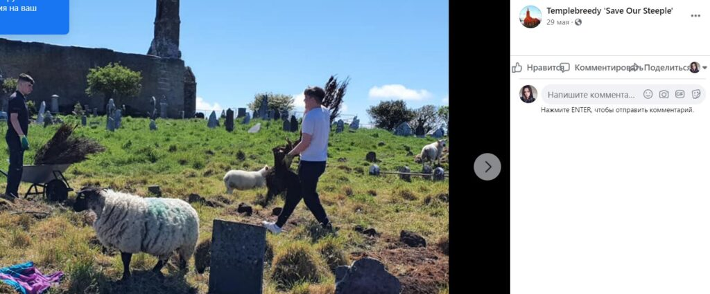 В Ирландии овцы ищут надгробия 18 века, съедая заросли на кладбище
