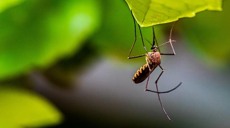 Роспотребнадзор предупредил о комарах — переносчиках лихорадки Западного Нила