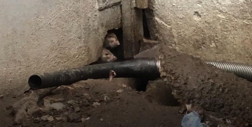 Жители Петроградского района жалуются на сотню крыс размером с кошек
