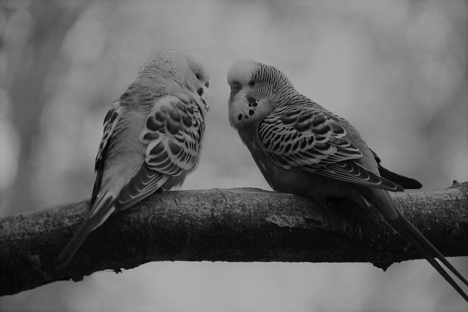 Под Петербургом мужчина заживо сжег попугаев своей жены в месть за разбитое сердце