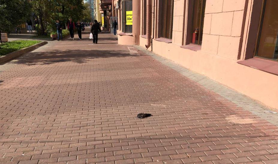 Мертвого и раздавленного голубя заметили посреди Московского проспекта
