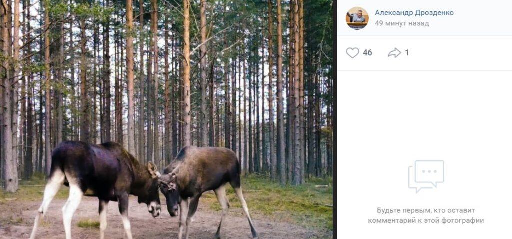 Дрозденко написал факты о лосях и напомнил о повышенной агрессивности этих животных