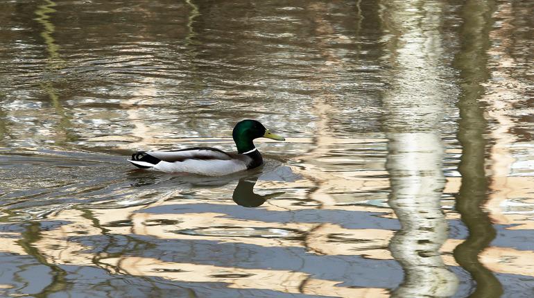 В пруду Яблоневого сада петербуржцы кроме мертвых уток заметили еще и крыс