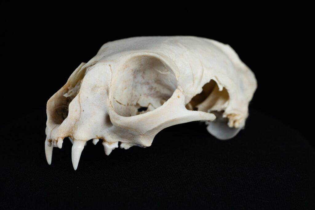 Ученые обнаружили в Крыму череп огромной древней гиены