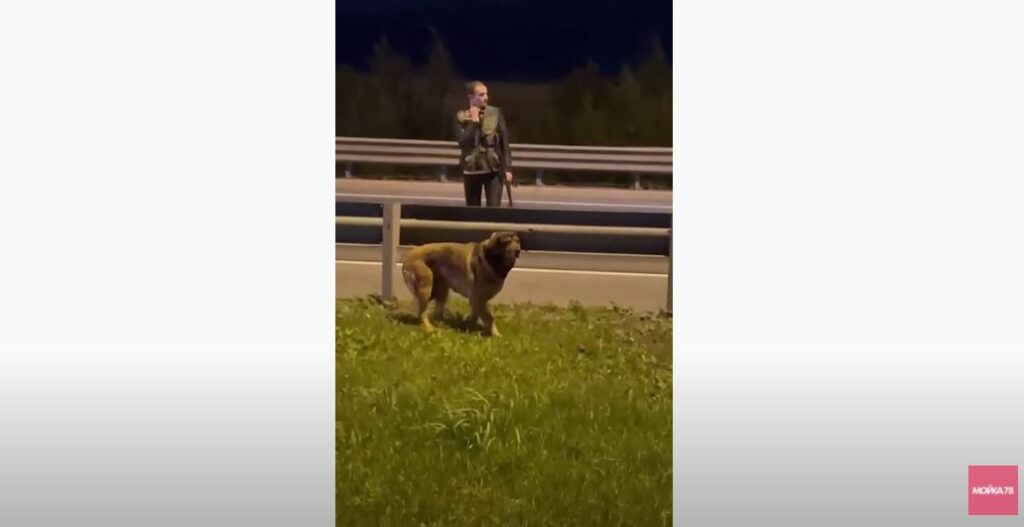 Собака с поврежденной лапой забежала на КАД, ее спасали силами кинологов и дорожников