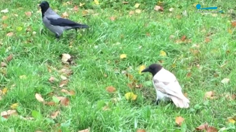 В парке Интернационалистов гуляла белая ворона