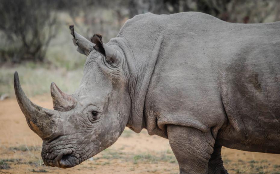 В Индии сожгли около 2500 рогов носорогов для доказательства, что в них нет лечебной ценности