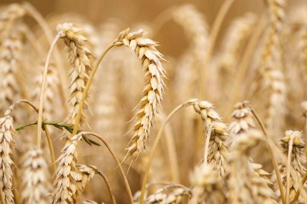 Россия повысила экспортные цены на пшеницу до максимума за последние 7 месяцев