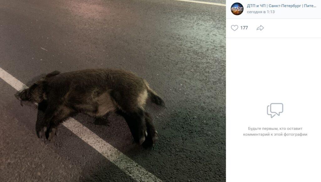 Ночью на Приозерском шоссе сбили лесного хряка